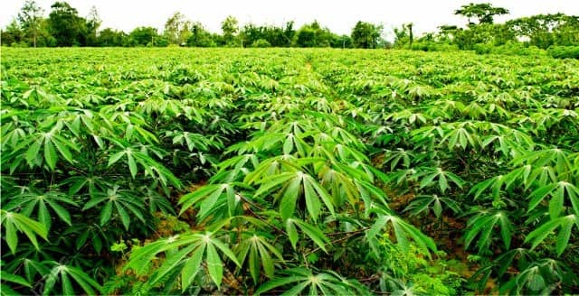 Cassava farming as one of the best business ideas in Nigeria