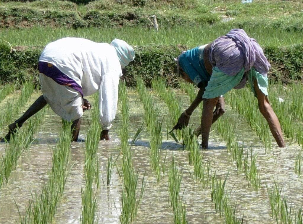 Rice Farming as one of the business ideas in Nigeria